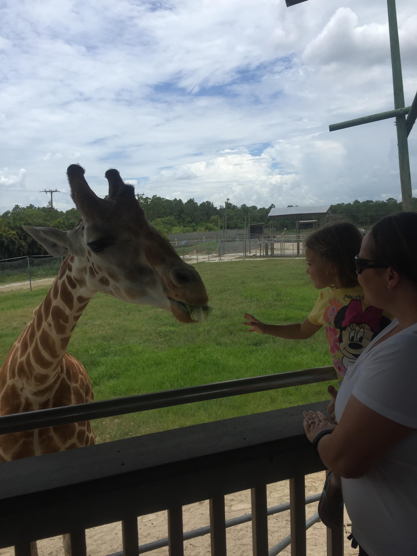 Lion Country Safari giraffe feeing